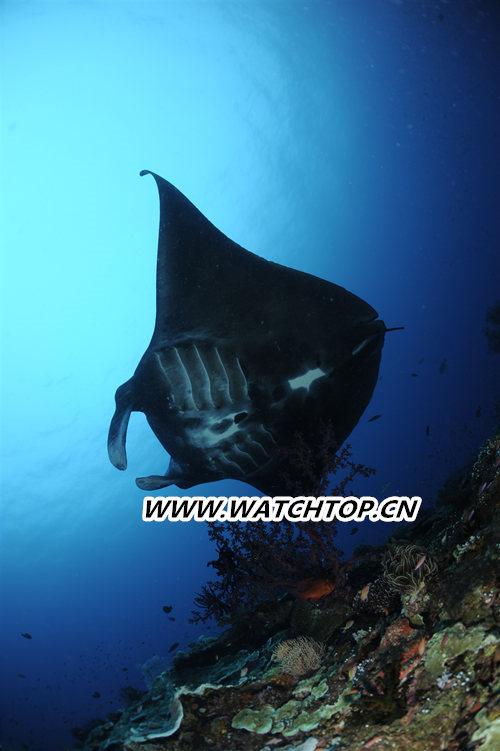 致力守护海洋生态 宝齐莱推出全新柏拉维深潜腕表黑魔鬼鱼特别款 行业资讯 第3张
